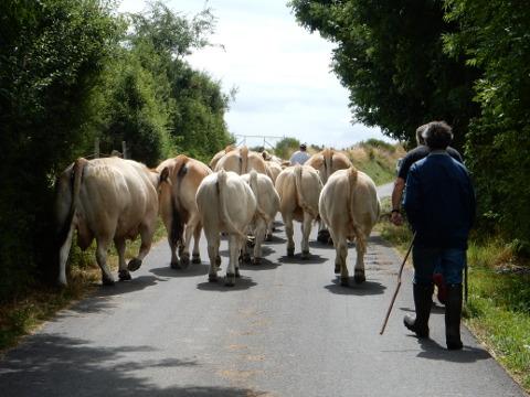 2016 - Chabanes - cows