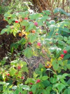 Podiensis - Aubrac - raspberries