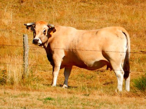 Podiensis - Aubrac - cow 2